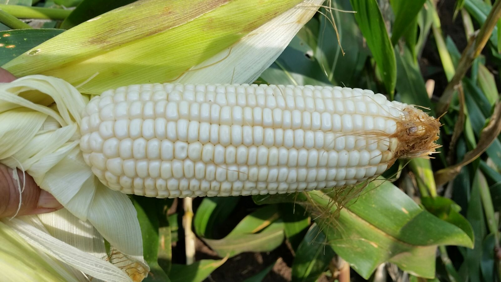 Cover Maize