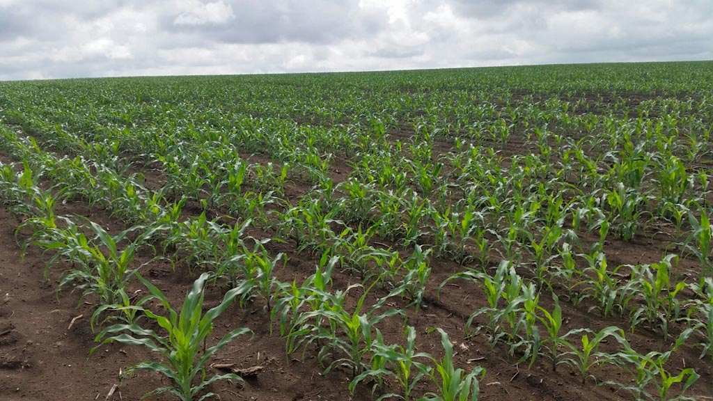 MAIZE PROGRESS 2015